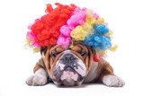 Funny and bored English bulldog with clown wig,isolated on white background - 192900721
