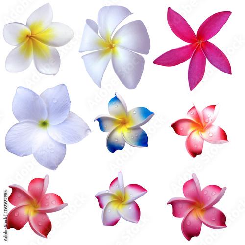 Plexiglas Plumeria fleurs de frangipanier, fond blanc
