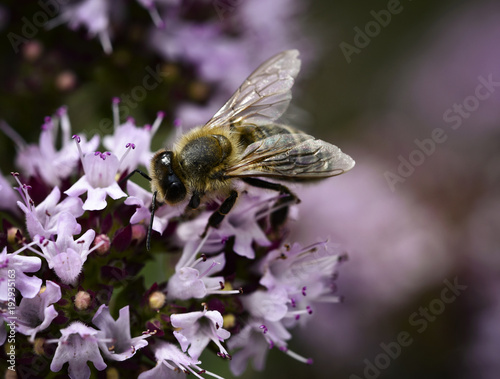 Foto Murales bee on violet blossom