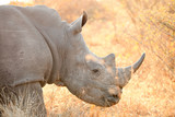 Close up view of an African White Rhino - 192938528