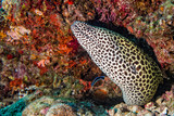 leopard eel mooray portrait - 192952748