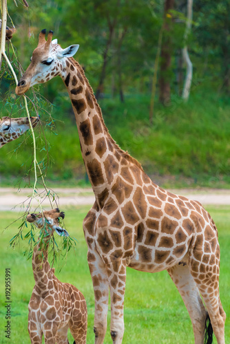 Fototapeta Young baby giraffe with its mother, African native animals