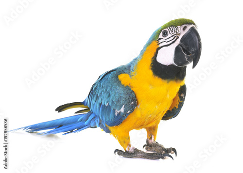 Fototapeta Blue-and-yellow macaw in studio