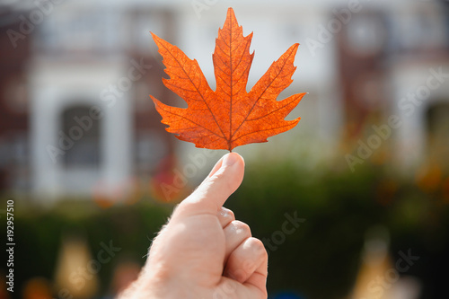 Tuinposter Herfst Yellow sheet of Canadian maple in hand, concept autumn