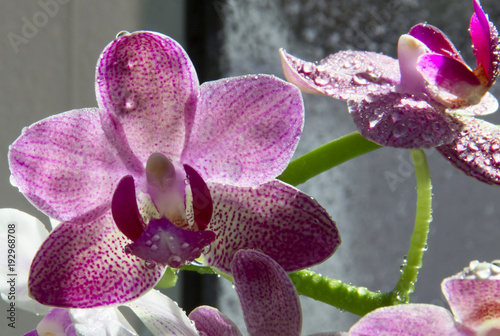 orchid-flowers-with-water-drops-close-up
