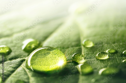 Large beautiful drops of transparent rain water on a green leaf macro. Droplets of water sparkle glare in morning sun . Beautiful leaf texture in nature. Natural background, free space. - 192968976