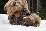 Bear playing in the winter forest - 192970114