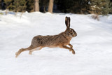 Hare running in the forest