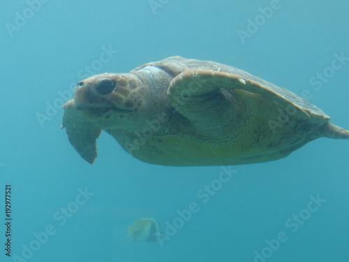 Aluminium Schildpad Tortue de mer dans le lagon à la Réunion