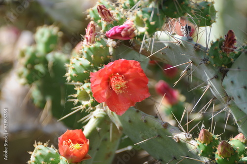Cactus flower over the sea in Ibiza Spain