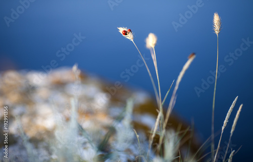 ladybird on the shore of the black sea