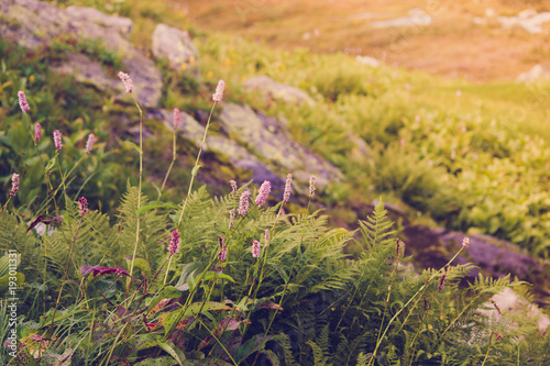 Fotobehang Honing Beautiful purple flowers in a mountain area in the green grass on a summer day