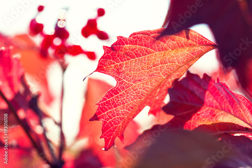 Aluminium Koraal Red autumn leaves. Macro image, selective focus