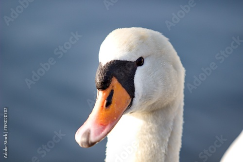 Aluminium Zwaan head of male of swan