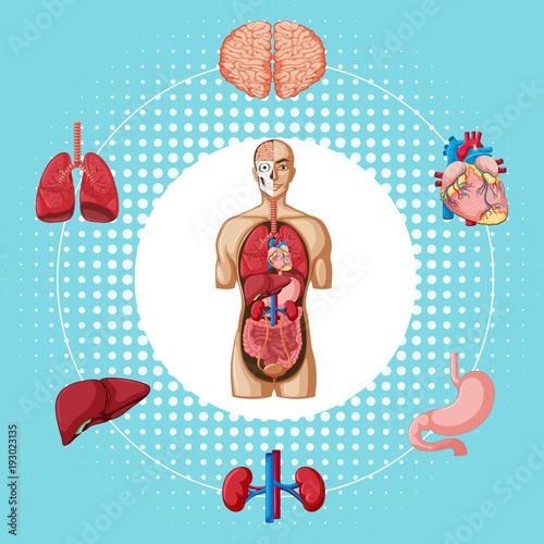 Papiers peints Jeunes enfants Human organs on blue background