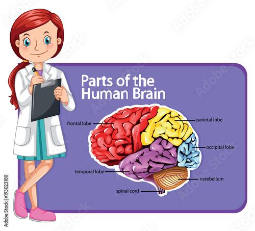 Papiers peints Jeunes enfants Doctor and parts of human brain
