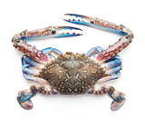 raw blue crab isolated on white background - 193028362