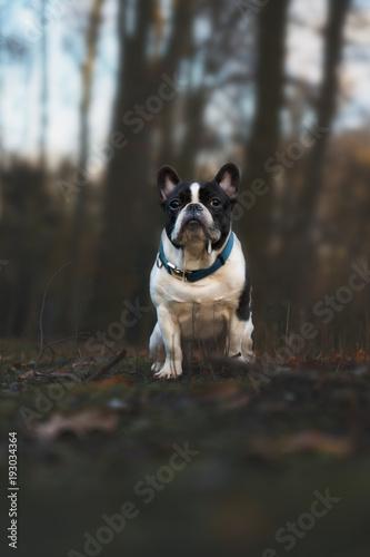 Aluminium Franse bulldog Französische Bulldogge im Wald