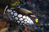 Tropical fish Clown triggerfish, Balistoides conspicillum - sea and ocean fish - 193038722