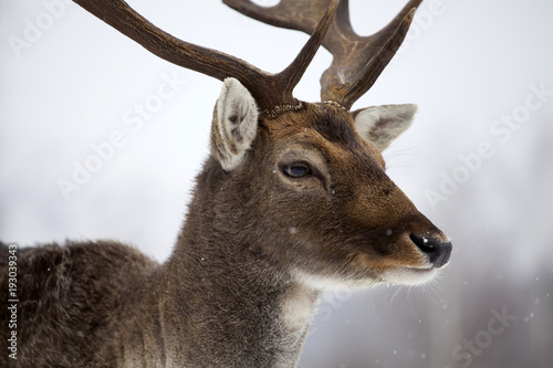 Poster Deer in wintertime