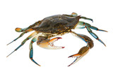 Blue Crab with white background - 193040928