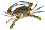 Blue Crab with white background.Top view - 193041152