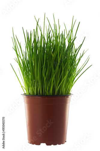 Keuken foto achterwand Gras Grass in flowerpot isolated on white