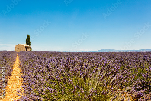 Fototapeta Panoramic view of lavender fields with lonely house in Provence, France