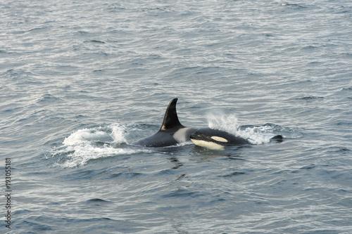 Fotobehang Dolfijn Pod of killer whales; Alaska