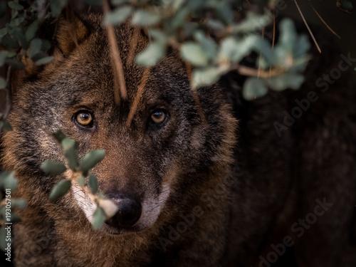 Fotobehang Wolf Iberian Wolf (Canis lupus signatus) hidden in the bush