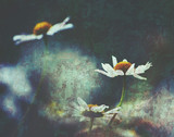 White daisies with moody grunge textured background - 193099525