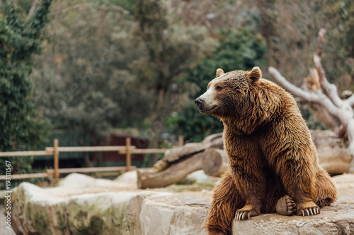 Papiers peints Madrid Brown bear sitting on a rock