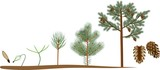 Pine tree life cycle. Plant growin from seed to mature pine tree with cones - 193116352