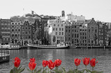 Black and white Amsterdam with red tulips - 193123318
