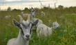 Quadro young goats graze in a meadow