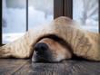 Leinwandbild Motiv The dog freezes. Funny dog wrapped in a warm blanket