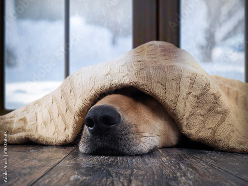 mata magnetyczna The dog freezes. Funny dog wrapped in a warm blanket