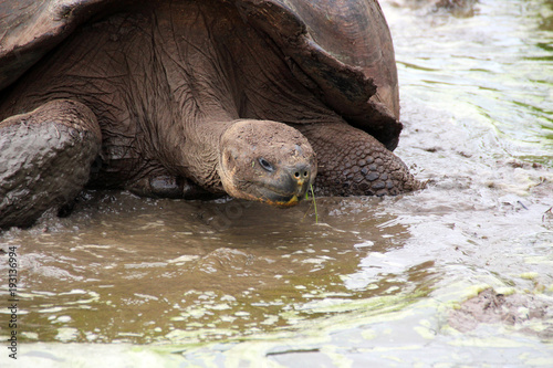 Aluminium Schildpad Wilde Riesen Schildkröten in der freien Wildbahn