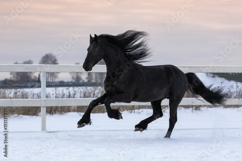 Black friesian horse with the mane flutters on wind running gallop on the snow-covered field in the winter © Svetlana