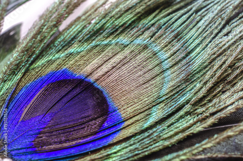 Aluminium Pauw Peacock feather with a picturesque pattern photographed from a close distance