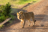 Male lion walking on a dirt road - 193156328