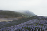 Typical Iceland landscape with mountains and lupine flowers field. Summer time - 193167337