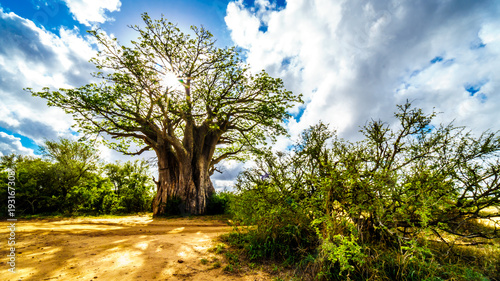 Aluminium Baobab Sun shining through a Baobab Tree in Kruger National Park in South Africa