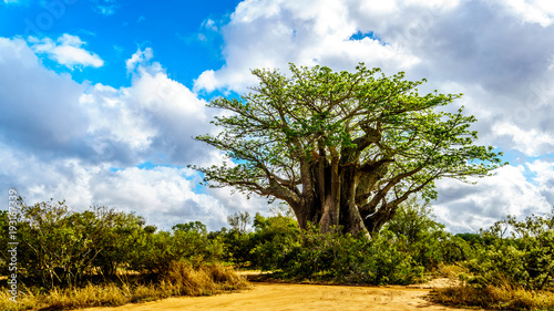 Foto op Plexiglas Baobab Baobab Tree under partly blue sky in spring time in Kruger National Park in South Africa
