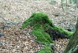 pokryty mchem stary korzeń drzewa
