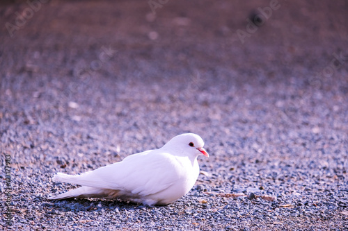 Foto op Plexiglas Cyprus White dove sitting on the sand