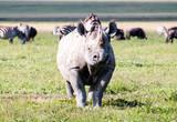 A large female rhino in Ngorongoro Crater Tanzania - 193180773
