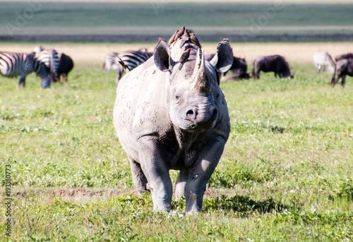 Plexiglas Neushoorn A large female rhino in Ngorongoro Crater Tanzania