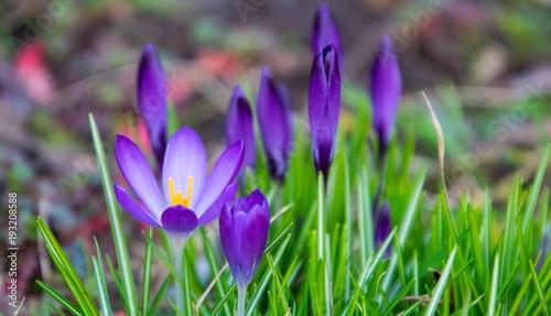 Sticker Purple saffron flowers close up