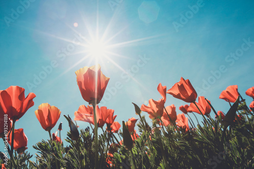 vintage color of the poppy field and wild flowers in sunlight under a blue sky